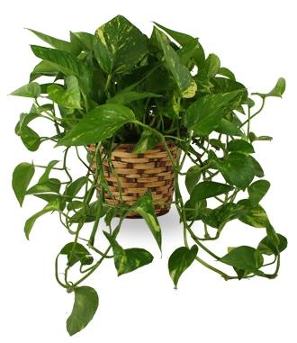 Sympathy Plant Arrangements