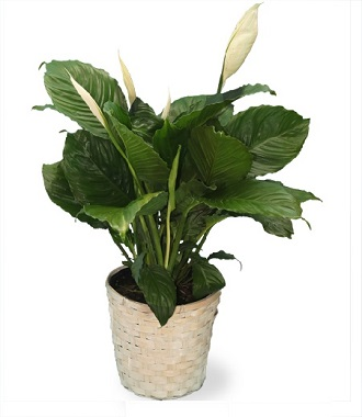 Best Funeral Plant