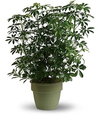 Plants Sent For Funerals