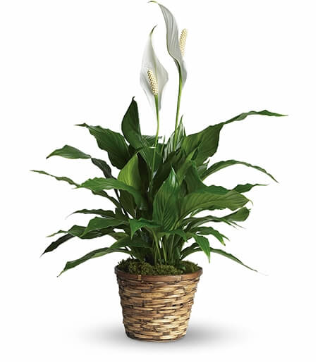 Easter Lilies Delivered