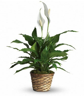 Green Plants For Funerals