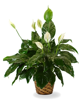 Plants Online Delivery